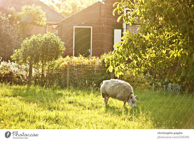 Sonne im Schafspelz Ferien & Urlaub & Reisen Tourismus Sommer Frühling Gras Garten Wiese Dorf Nutztier 1 Tier Fressen hell Wärme Zufriedenheit Bauernhof