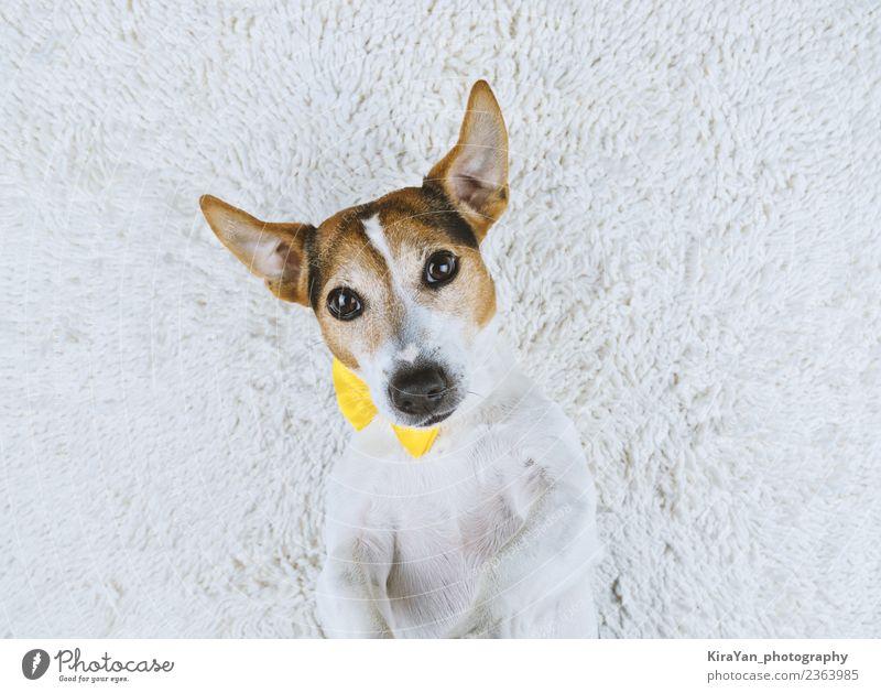 Junger Hund auf weißem Hintergrund liegend mit gelber gebundener Schleife Lifestyle Freude Glück Gesicht Freundschaft Erwachsene Tier Pelzmantel Haustier machen
