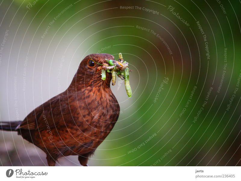proteine Tier Wildtier Vogel 1 Fressen natürlich Appetit & Hunger Amsel Wurm Raupe Farbfoto Außenaufnahme Nahaufnahme Menschenleer Textfreiraum rechts
