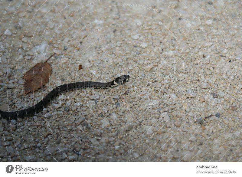 S.N.A.K.E. Umwelt Natur Wildtier Schlange 1 Tier Bewegung biegen Schleichen Überqueren Farbfoto Außenaufnahme Nahaufnahme Textfreiraum rechts Textfreiraum oben