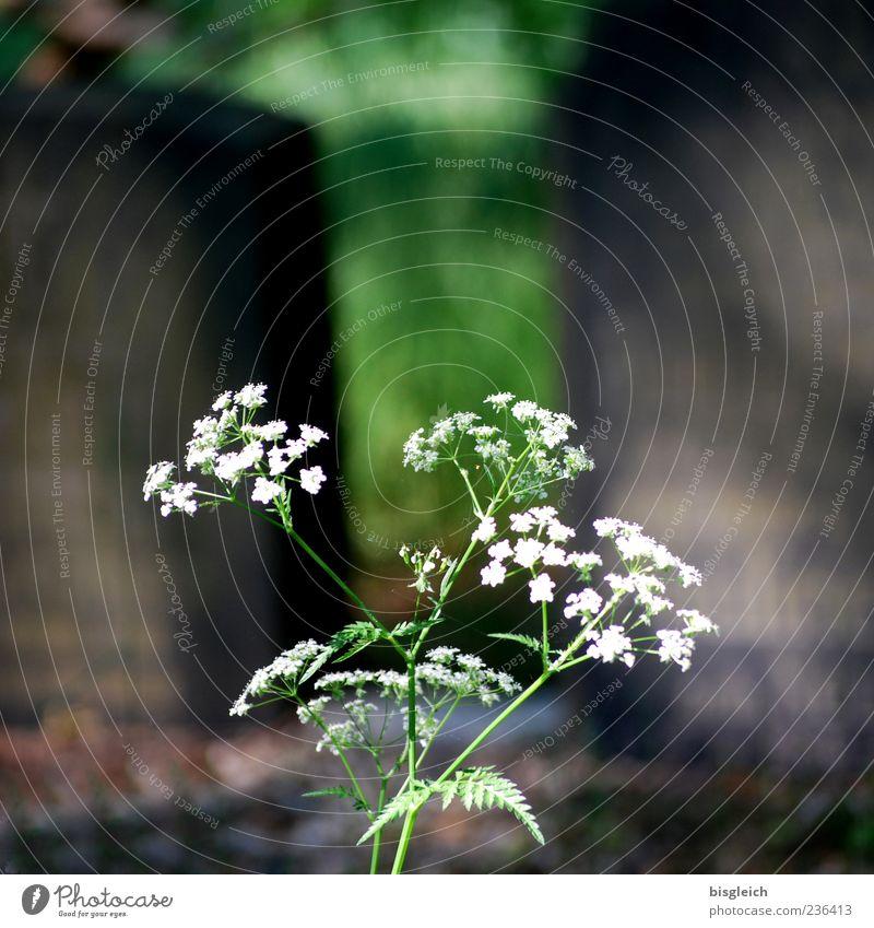 Leben & Tod Pflanze Blüte Grabstein Friedhof Stein grün weiß Lebenslauf filigran Vergänglichkeit Farbfoto Außenaufnahme Menschenleer Textfreiraum oben Tag