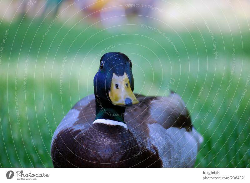 Ente 1 Tier Neugier Wiese Schnabel Farbfoto Außenaufnahme Menschenleer Textfreiraum oben Tag Schwache Tiefenschärfe Natur Gras Feder gefiedert