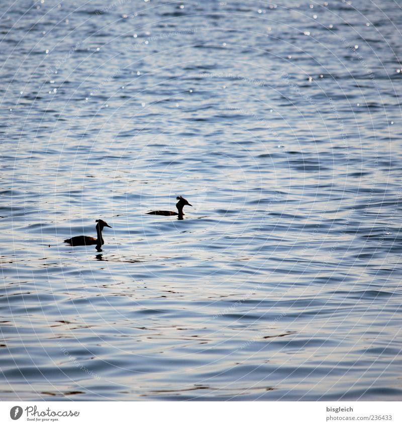 Haubentaucher blau Wasser Tier ruhig See Vogel Wellen Schwimmen & Baden Idylle