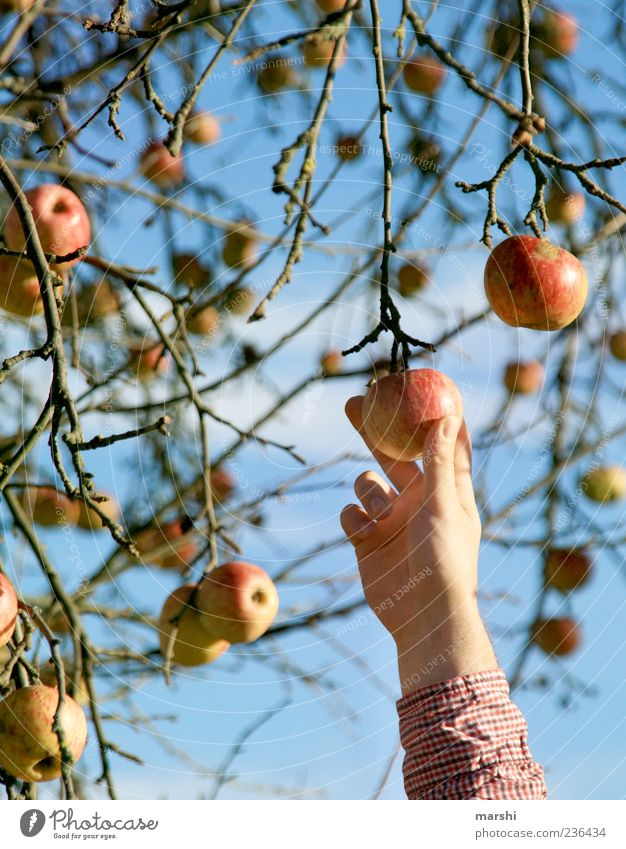 Ich pflück dir was... Natur blau Hand Baum rot gelb Herbst Lebensmittel Frucht Ast Apfel Ernte lecker Zweig Apfelbaum Ernährung
