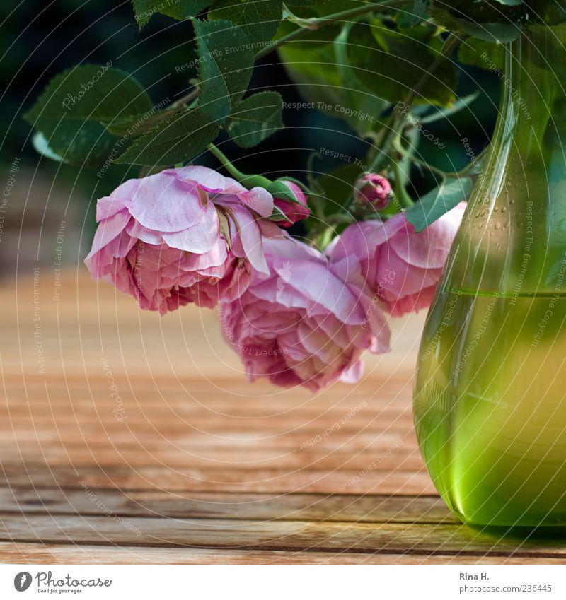 HangOver Lifestyle Pflanze Frühling Blume Rose Blühend hängen leuchten ästhetisch grün rosa Frühlingsgefühle Holztisch Garten Gartentisch Vase Blüte