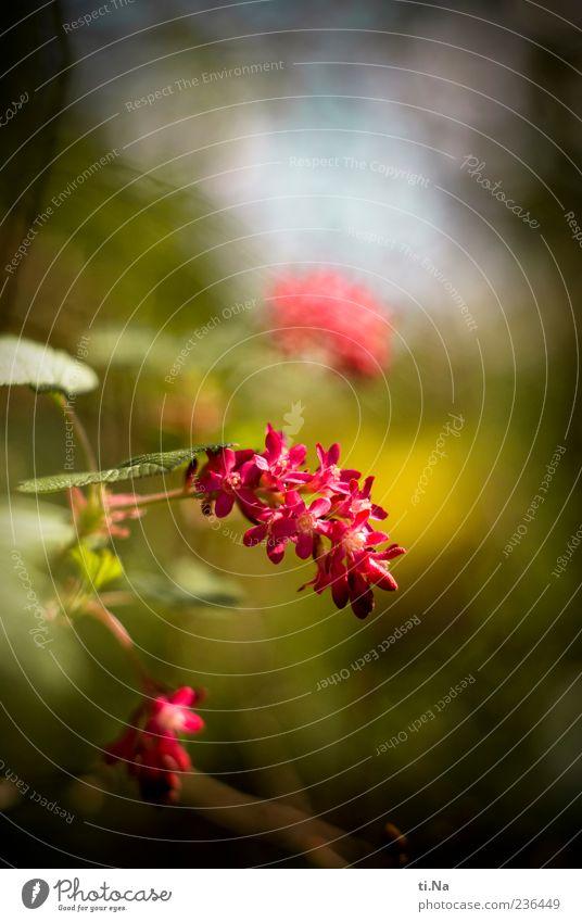 Blutjohannisbeere schön Pflanze Frühling Garten Blüte Wachstum Sträucher Blühend Frühlingsgefühle