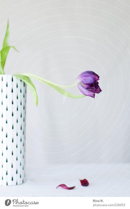 Sorrow Lifestyle Blume Tulpe Blatt Blüte Traurigkeit verblüht ästhetisch violett weiß Gefühle Schmerz Trauer Vergänglichkeit verlieren Sorge Vase Stillleben