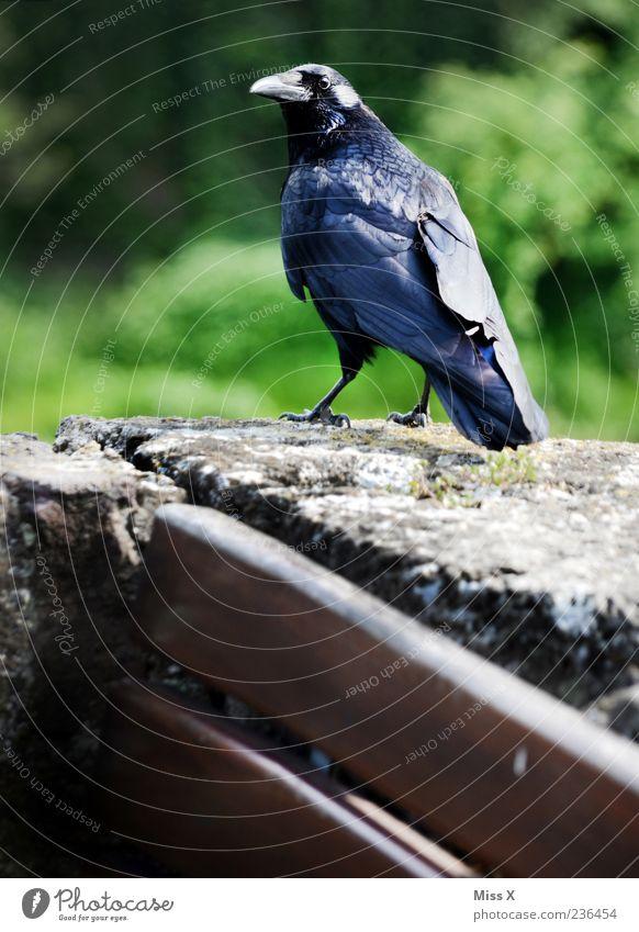 Krähe Natur Tier schwarz Stein Park Vogel Wildtier Feder gruselig gefiedert Rabenvögel