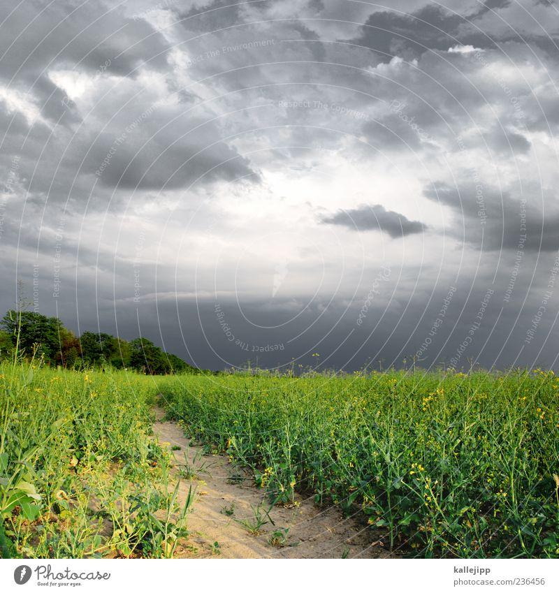 rapsgewitter Umwelt Natur Landschaft Pflanze Erde Sand Himmel Wolken Gewitterwolken Nutzpflanze Feld gelb grün gefährlich Rapsfeld Wachstum Farbfoto mehrfarbig