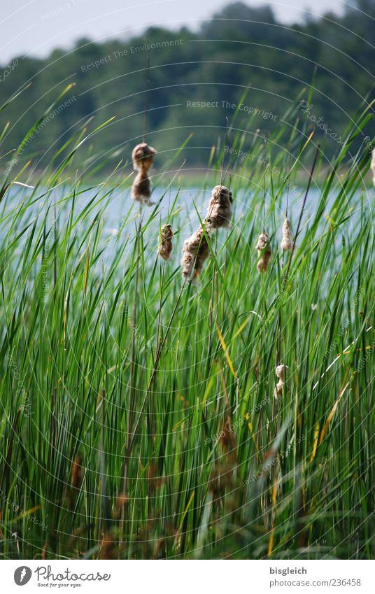 Schilf am See II Natur grün Pflanze Sommer Landschaft Gras Wind Wachstum Seeufer Schilfrohr Rohrkolbengewächse