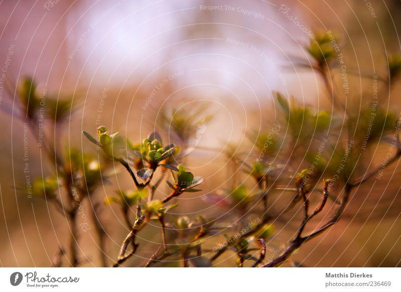 Knospe Umwelt Natur Pflanze Frühling Sommer Schönes Wetter Sträucher Grünpflanze Wildpflanze ästhetisch authentisch schön trist wild braun gelb gold grün