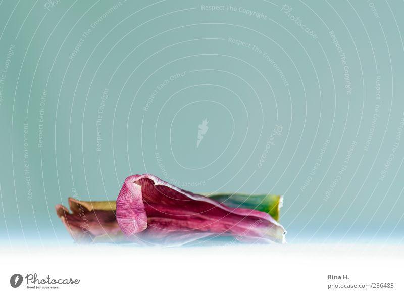 LöffelchenStelllung rot Pflanze Blatt Glück rosa Tulpe Blütenblatt Blume