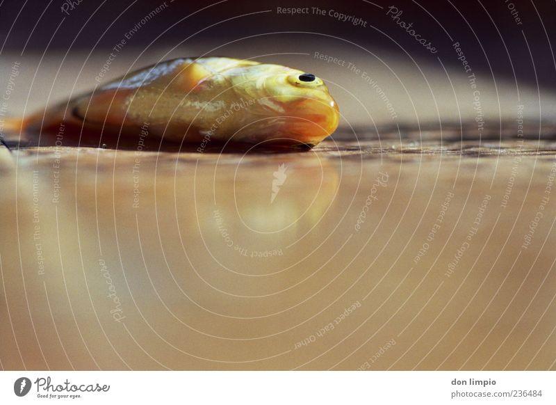 goldfisch Tier Totes Tier Fisch Goldfisch dehydrieren schleimig trocken braun exotisch Farbe Tod analog Fischauge Bodenbelag liegen Farbfoto Detailaufnahme