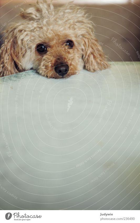 Gibst du mir was zu Fressen? blond Locken Tier Haustier Hund Tiergesicht Pudel Tisch Gefühle Sympathie Tierliebe Treue geduldig Neugier Interesse Hoffnung