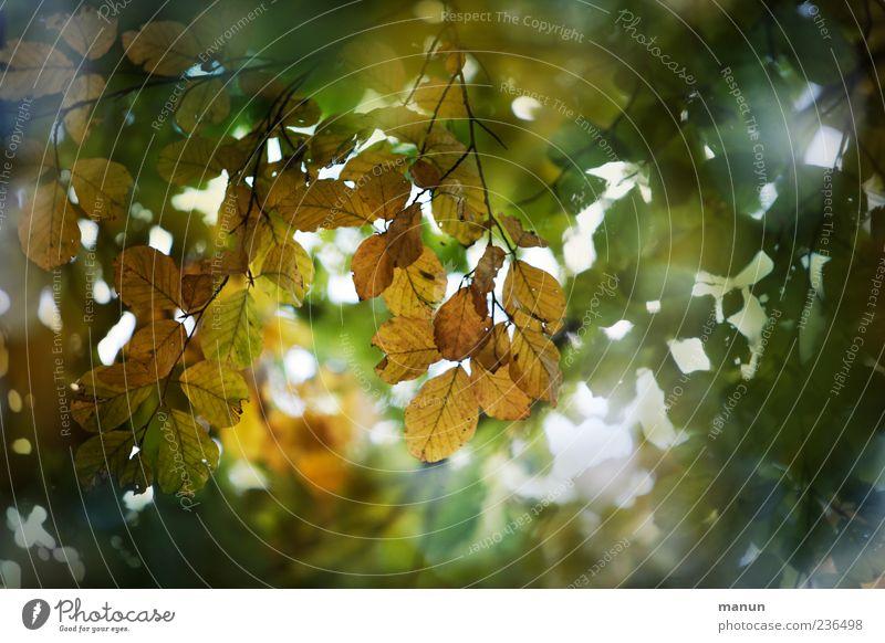 Foto von Blätterdach Natur Herbst Baum Blatt Zweige u. Äste schön Farbfoto Außenaufnahme Menschenleer Textfreiraum rechts Tag Sonnenlicht grün braun herbstlich