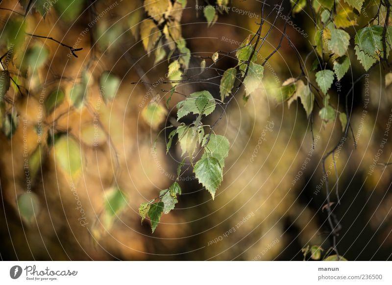 Foto von Birkenblättern Herbst Blatt Zweige u. Äste schön Farbfoto Außenaufnahme Menschenleer Tag herunterhängend Unschärfe