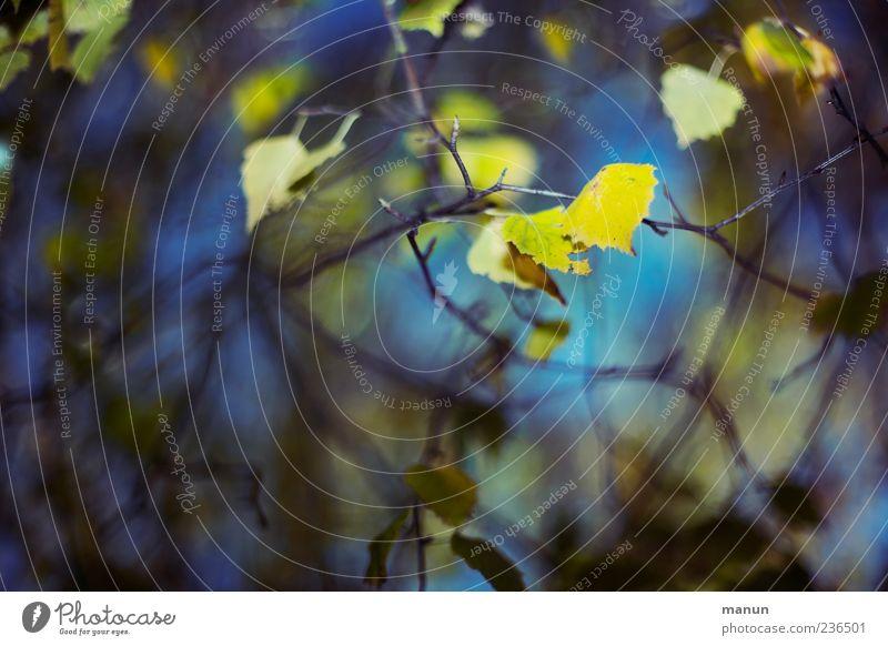 Foto mit gelben Birkenblättchen Natur Herbst Blatt Zweige u. Äste blau Farbfoto Außenaufnahme Menschenleer Textfreiraum links Tag Licht Kontrast Birkenblätter