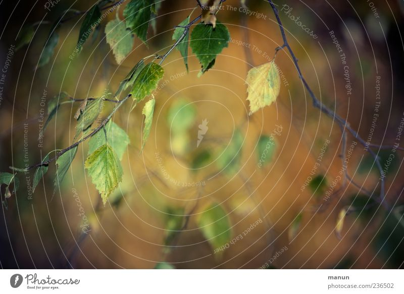 Foto mit Birkenzweigen Natur Herbst Blatt Zweige u. Äste braun Farbfoto Außenaufnahme Menschenleer Textfreiraum Mitte Tag Unschärfe Birkenblätter