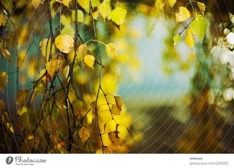 Foto mit viel Birke Natur Herbst Baum Blatt gelb Farbfoto Außenaufnahme Menschenleer Textfreiraum rechts Tag herbstlich Herbstfärbung Herbstlaub herunterhängend