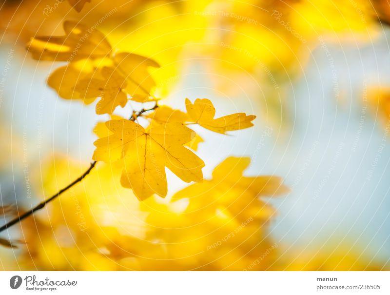 Foto von gelbem Ahorn Natur Herbst Blatt Ahornblatt hell schön Farbfoto Außenaufnahme Menschenleer Sonnenlicht Unschärfe herbstlich Herbstlaub Herbstfärbung