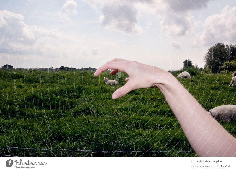 Das Greifen der Lämmer Hand Tierjunges lustig außergewöhnlich Perspektive Arme verrückt Symbole & Metaphern greifen Nutztier Lamm Opfer Composing Schaf Aktion