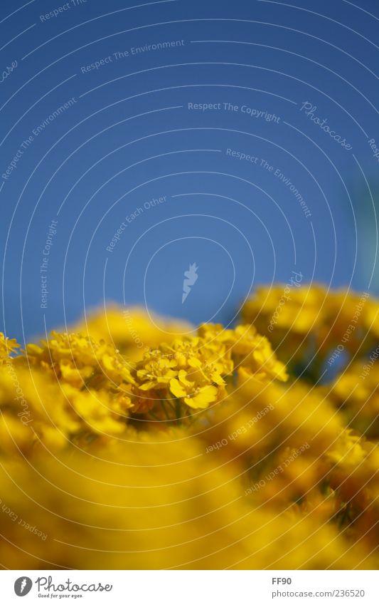 Sonnige Aussichten Natur Pflanze Himmel Sonnenlicht Frühling Schönes Wetter Blume Blüte blau gelb Farbfoto Außenaufnahme Makroaufnahme Tag Kontrast