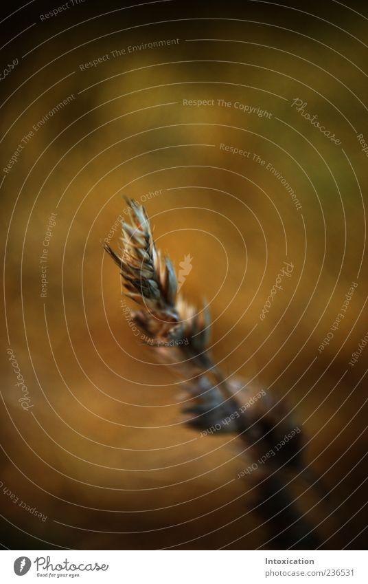 Getreide Nutzpflanze braun Farbfoto Außenaufnahme Menschenleer Tag Schwache Tiefenschärfe Zentralperspektive 1 Unschärfe Textfreiraum oben Ähren