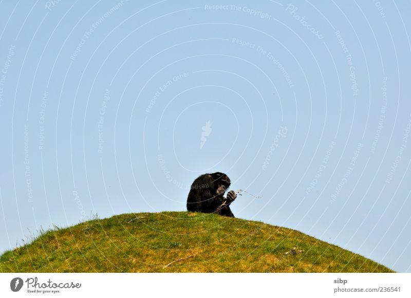Affe aufm Hügel Tier schwarz Wiese Berge u. Gebirge Gras beobachten festhalten Schönes Wetter Zoo machen Wolkenloser Himmel Affen Blauer Himmel Schimpansen