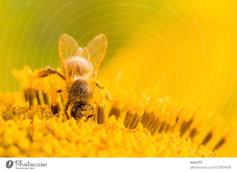 Makro Honig Biene sammelt tief gelbe Pollen auf Sonnenblume Natur Pflanze Sommer schön Blume Tier ruhig Freude Wärme Leben Gesundheit Umwelt Blüte Frühling