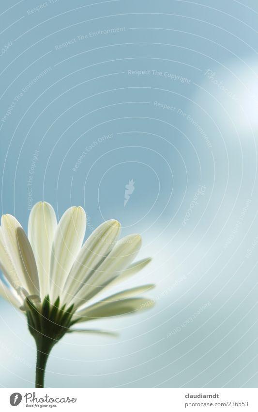 Balkonblume Himmel Natur weiß Pflanze Sommer Blume Wolken Frühling Blüte einfach Blühend Postkarte Margerite Blauer Himmel Blütenblatt
