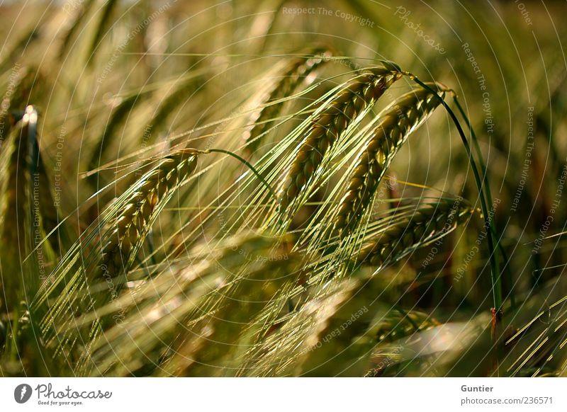 fields of grain Umwelt Natur Pflanze Gras Nutzpflanze Getreidefeld Ähren Korn Feld braun gelb gold schwarz Lebensmittel Ernährung Sommer