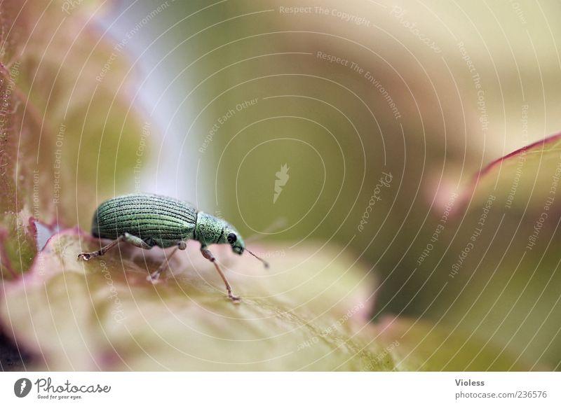 Wo ist Spiekeroog? Natur grün Blatt Tier nah Käfer Rüsselkäfer