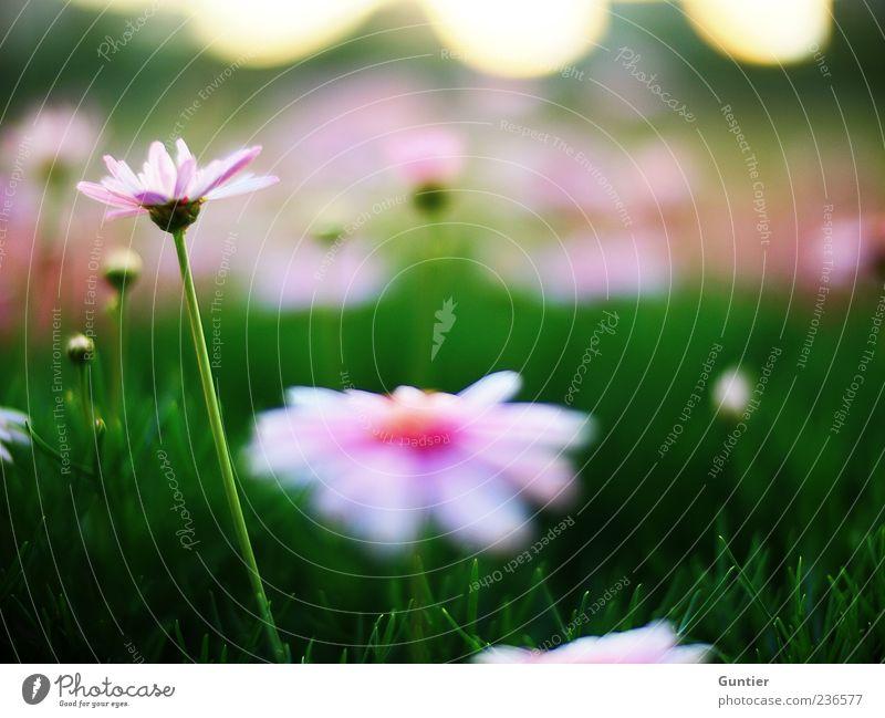 fürs Herz,... weiß Blume grün Pflanze Sommer Freude Blatt schwarz gelb Wiese Blüte Gras Frühling Park rosa Umwelt