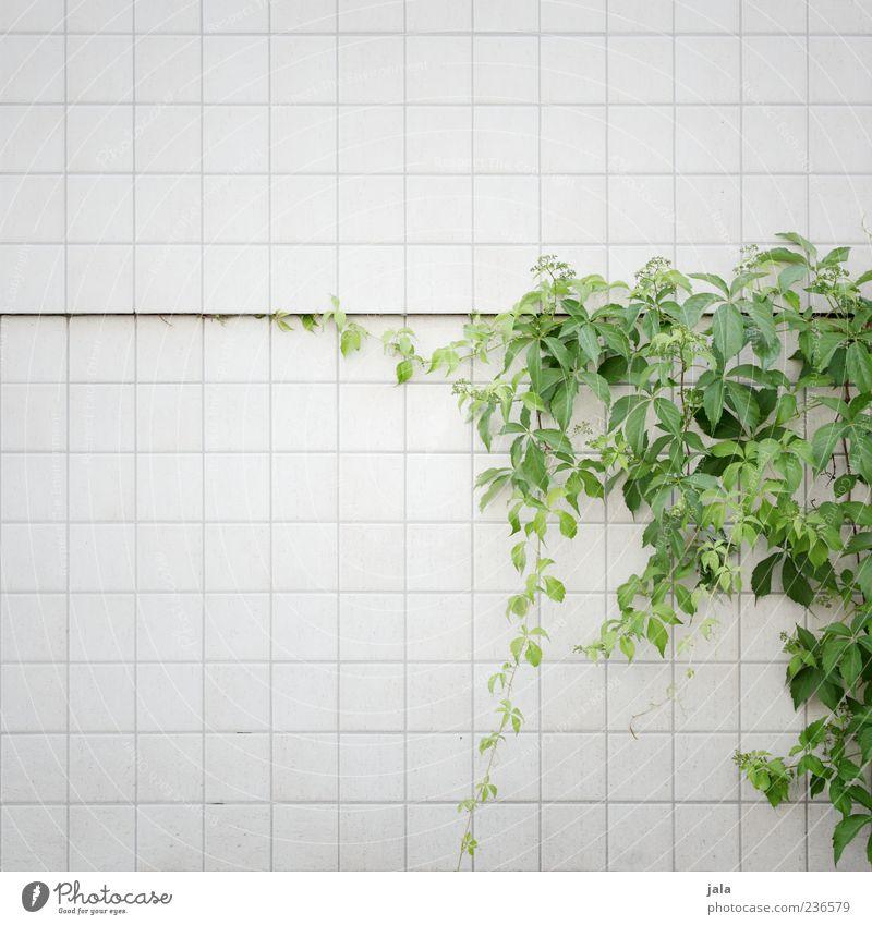 fassadenbegrünung Natur schön Pflanze Blatt Wand Mauer Gebäude Fassade wild ästhetisch Wachstum Fliesen u. Kacheln Grünpflanze Kletterpflanzen Umwelt Licht