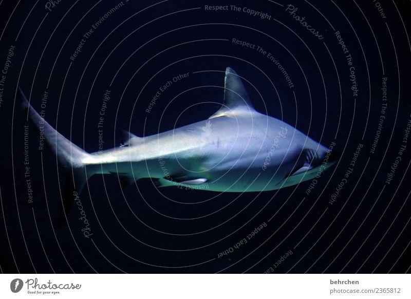 ich bin dann mal weg Wasser Meer Tier Wildtier Haifisch Aquarium 1 Jagd Schwimmen & Baden außergewöhnlich Angst gefährlich dunkel Flosse Farbfoto Innenaufnahme