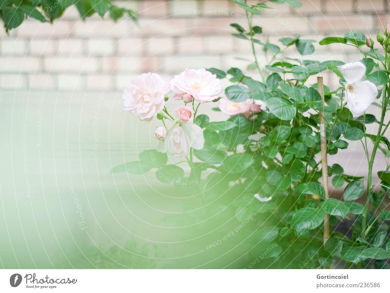 Rosengarten Natur Pflanze Blume Blatt Blüte Garten schön Rosenblüte Rosenstock Backsteinwand Farbfoto Außenaufnahme Menschenleer Textfreiraum links