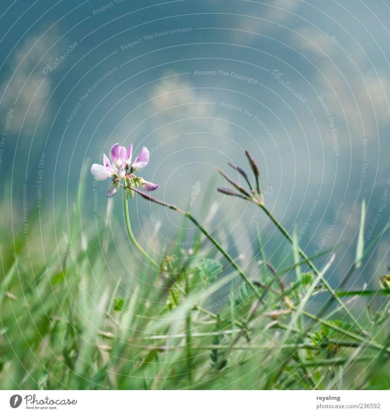 blaurosagrün Natur Pflanze Wolkenloser Himmel Blume Gras Blatt Blüte Garten Park Wiese Blühend leuchten verblüht mehrfarbig Außenaufnahme Menschenleer