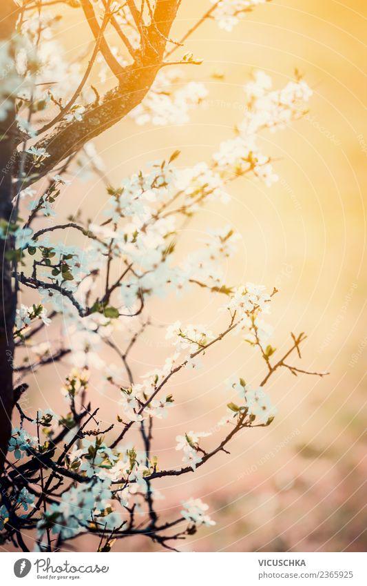 Kirschblüte am Sonnenuntergang Design Sommer Garten Natur Pflanze Frühling Blatt Blüte Park weich rosa Hintergrundbild Kirschblüten April aufwachen Farbfoto