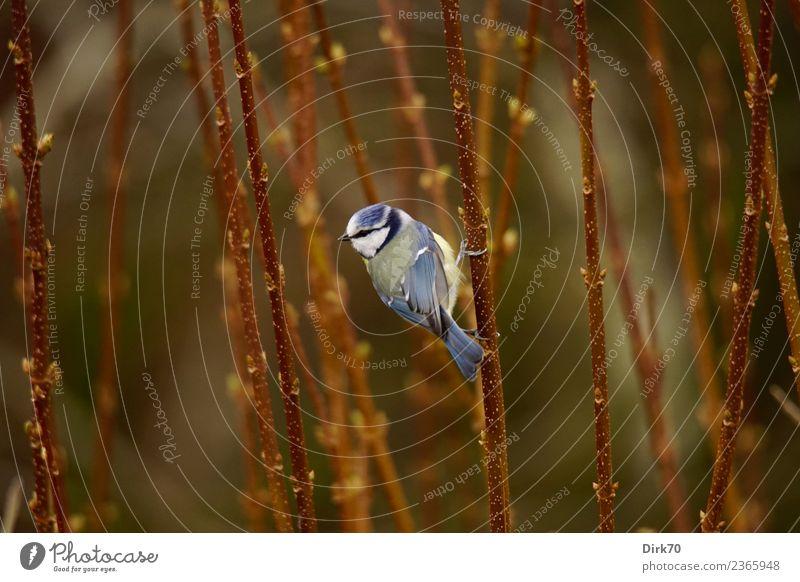Kletterkünstler Umwelt Natur Frühling Pflanze Sträucher Grünpflanze Zweige u. Äste Trieb austreiben Blattknospe Garten Park Tier Wildtier Vogel Singvögel Meisen