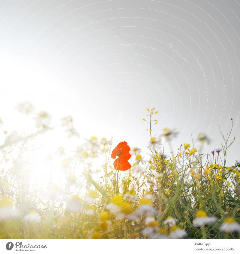 roxanne Himmel Natur Pflanze Sonne Sommer Blume Blatt Umwelt Landschaft Wiese Gras Blüte Luft Feld Wachstum leuchten