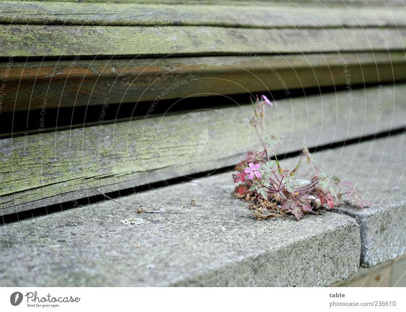 standhaft... Umwelt Natur Pflanze Blatt Blüte Wildpflanze Gebäude Mauer Wand Fassade Fenster Fenstersims Fuge Fensterladen Rollo Granit Beton Holz Blühend