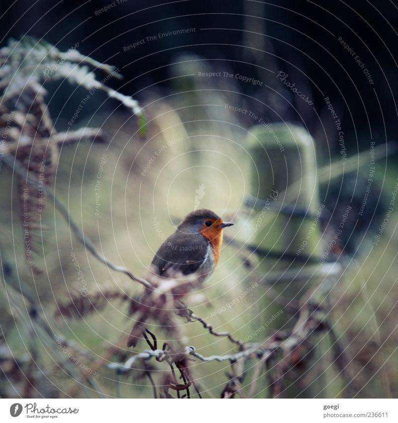 Hobbyornithologie Umwelt Natur Tier Grünpflanze Feld Vogel Rotkehlchen 1 Zaun Zaunpfahl nachhaltig Farbfoto Menschenleer Textfreiraum oben Tag