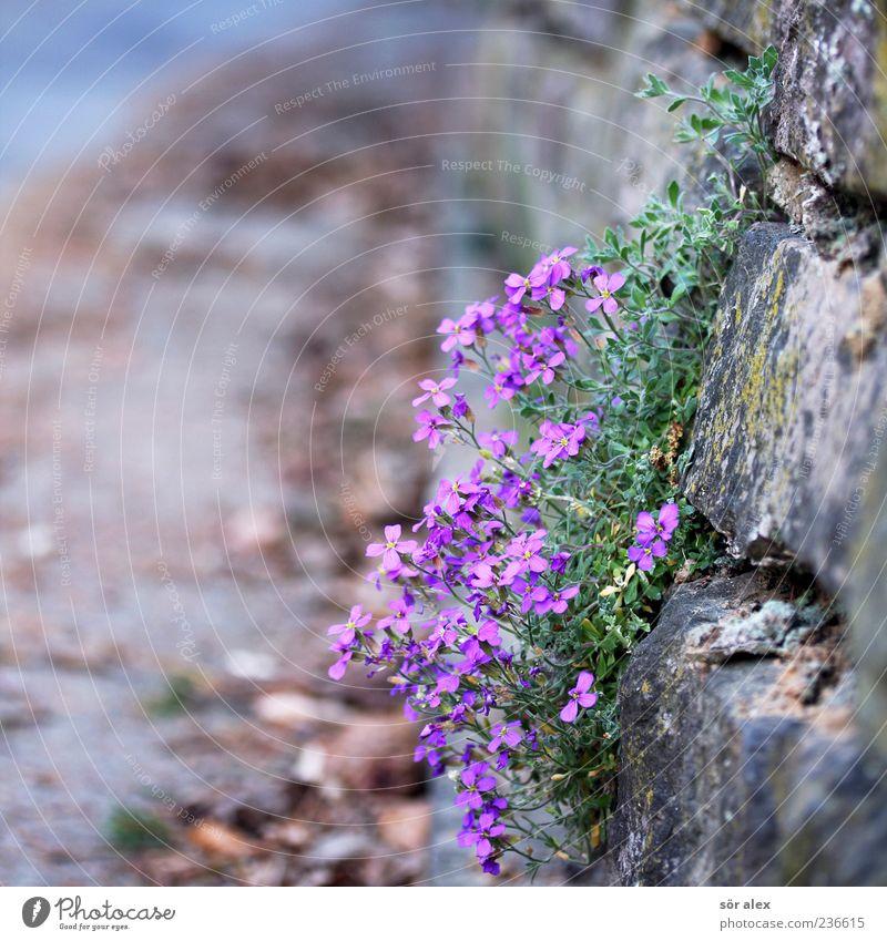 Mauer mit Blümchen Pflanze Blume Blatt Blüte Wildpflanze Wand Straße Hofeinfahrt Straßenrand Duft eckig schön violett Frühling Dekoration & Verzierung