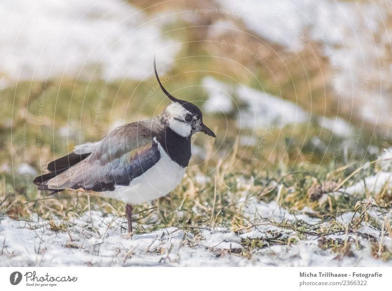 Kiebitz auf der Wiese Umwelt Natur Tier Sonne Winter Schnee Gras Wildtier Vogel Tiergesicht Flügel Regenpfeifer Schnabel Haube Feder 1 Fressen laufen stehen nah