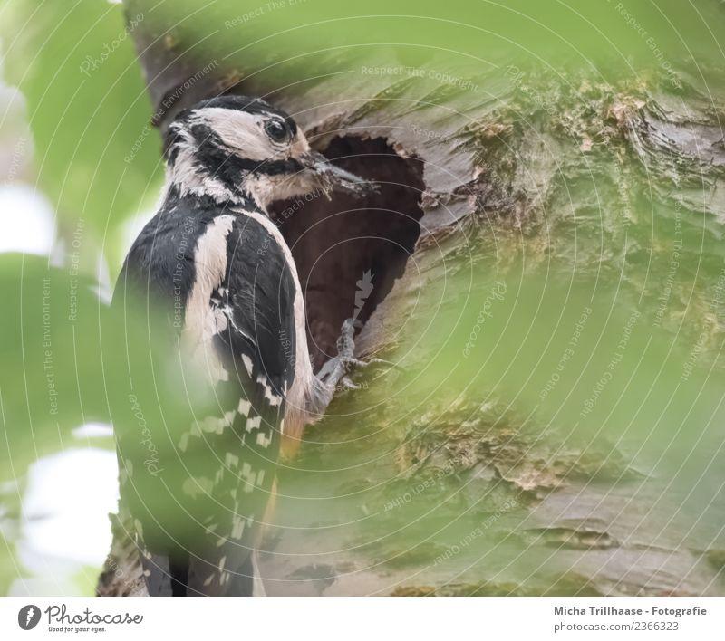 Buntspecht an der Höhle Natur grün weiß Sonne Baum Tier Blatt Wald schwarz Umwelt Auge Vogel orange Wildtier Schönes Wetter Flügel