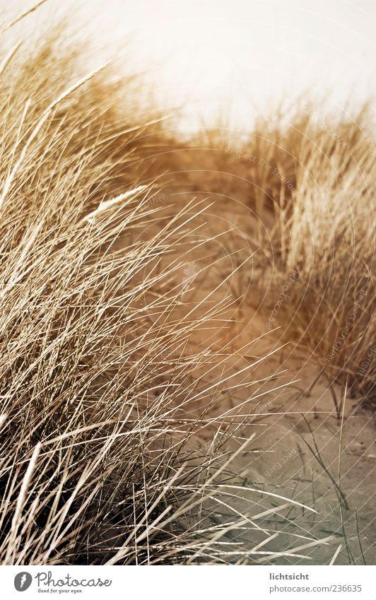 Düne Natur Landschaft Sand Sommer Klima Küste Wege & Pfade Stranddüne Dünengras Sepia Gedeckte Farben Außenaufnahme Detailaufnahme Tag Licht Lichterscheinung