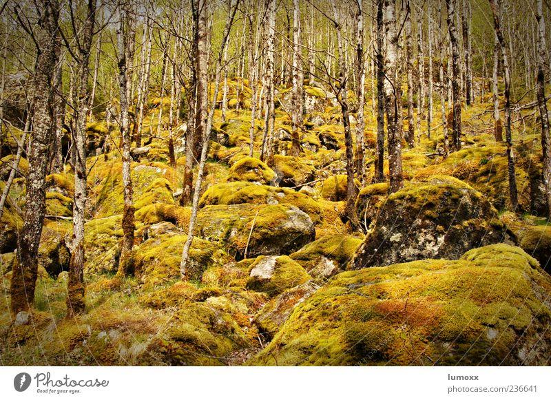 birkenwald im frühling Natur Baum Pflanze Wald Umwelt ästhetisch Europa Moos Norwegen Skandinavien Birkenwald Jostedalsbreen