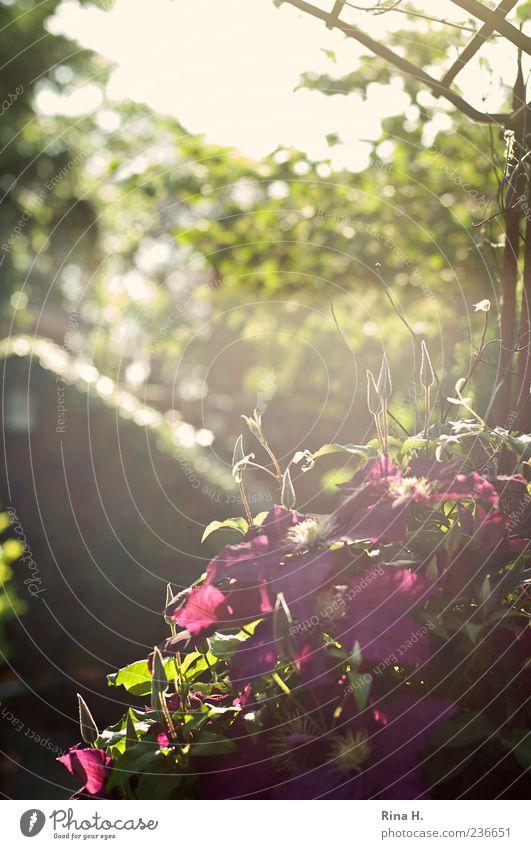 Klematis im Gegenlicht grün Pflanze Blume Frühling natürlich authentisch Schönes Wetter violett Blühend Frühlingsgefühle Clematis