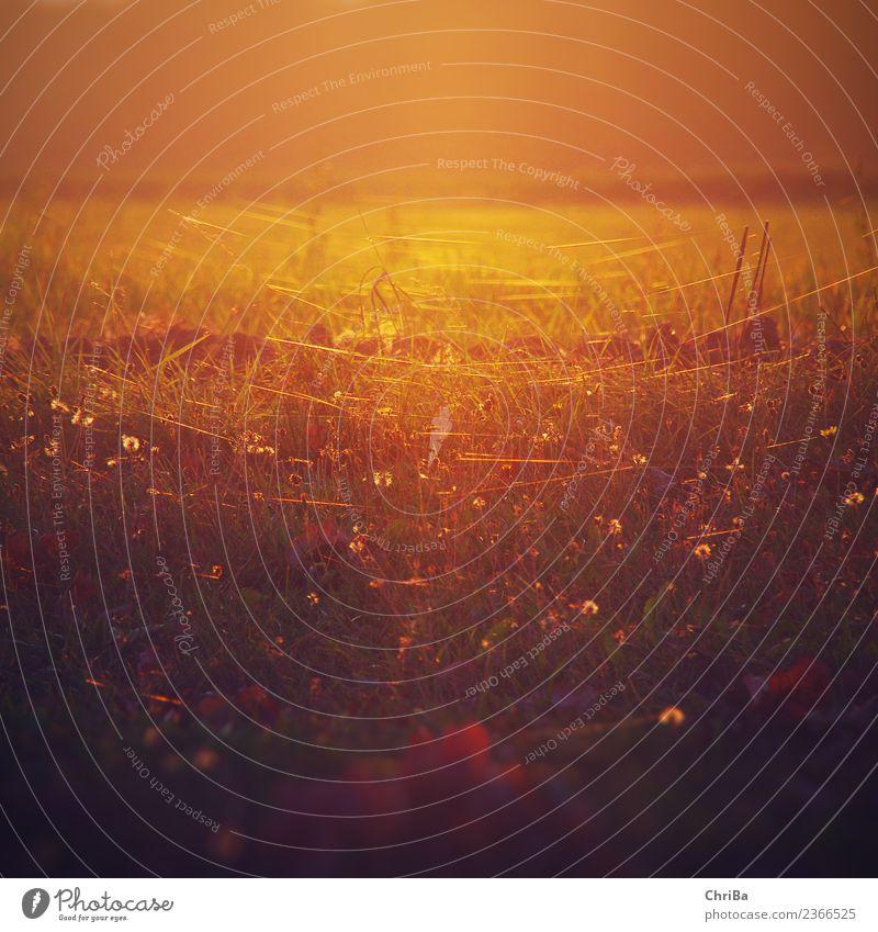 Sonnenuntergang auf der Wiese Natur Pflanze Sommer Landschaft Blume Erholung ruhig Wärme Leben Herbst Blüte Gefühle Gras Stimmung Zufriedenheit