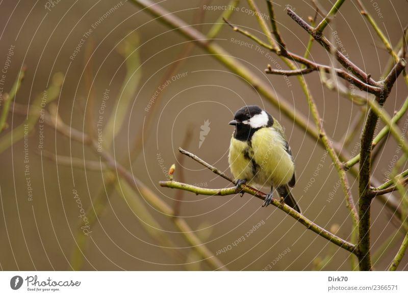 Kohlmeise im Rosenstrauch Garten Natur Frühling Winter Pflanze Sträucher Rosenzweig Zweig Park Tier Wildtier Vogel Singvögel Meisen 1 beobachten hocken sitzen